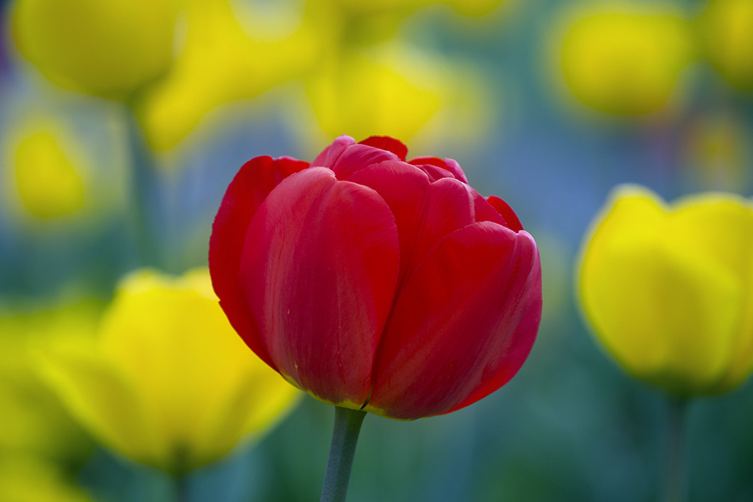 Photograph Tulips by Audran Gosling on 500px