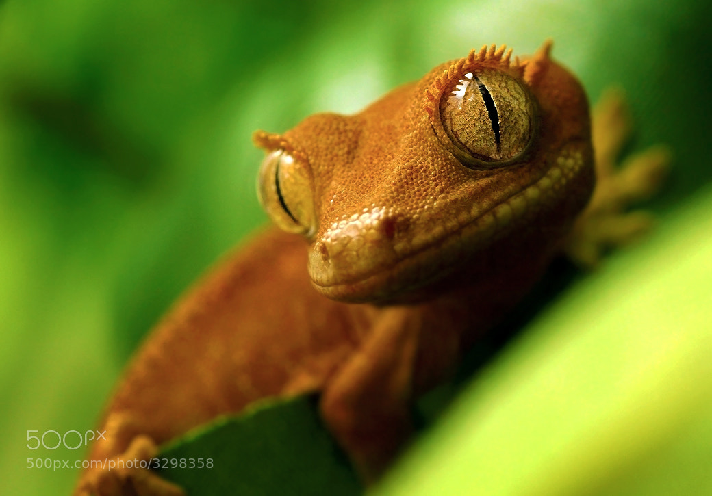 Photograph Rhacodactylus ciliatus - Damien by Johanna Back on 500px