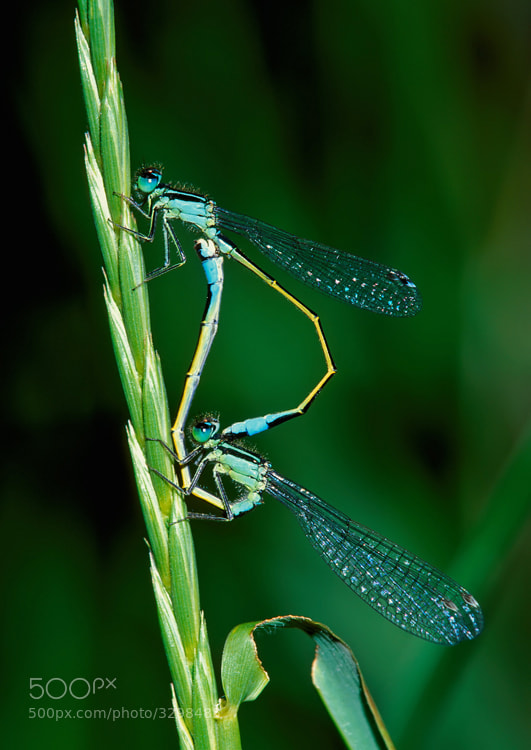 Wheel of love it's called when two Damselflies, in this case the common blue-tails, are mating.  Shot taken on Fuji Velvia slide film. Scanned the slide with a Nikon Super Coolscan 4000ED.  Best regards and have a nice evening,  Harry