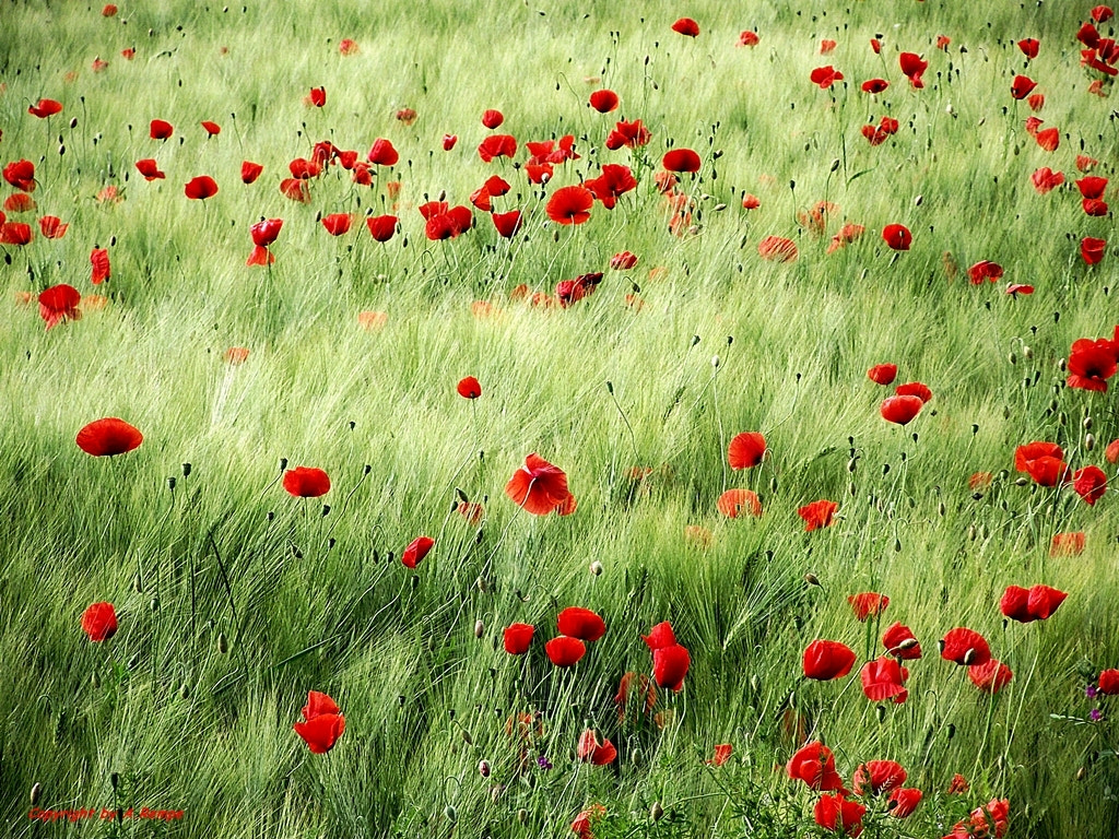 Photograph Poppy and Barley by Angelika Rempe on 500px