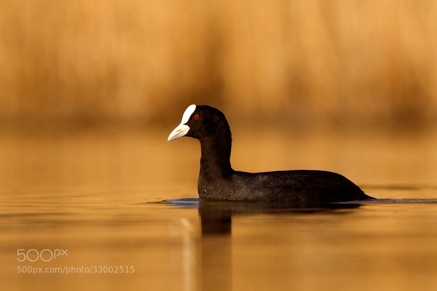 Photograph coot by Tibor Popela on 500px