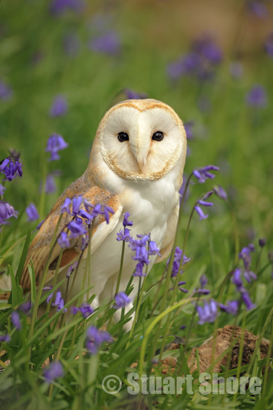 Photograph Barn Owl by Stuart Shore on 500px