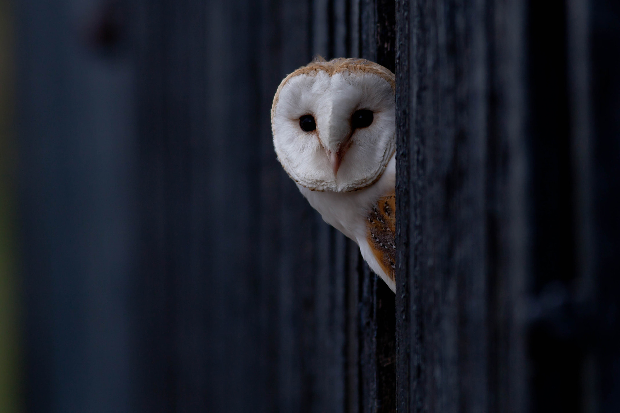 Photograph Barn Owl by Shaun Brown on 500px