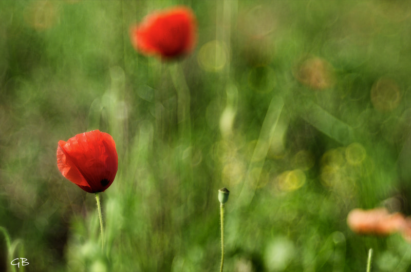 Photograph Poppies by lapococa on 500px