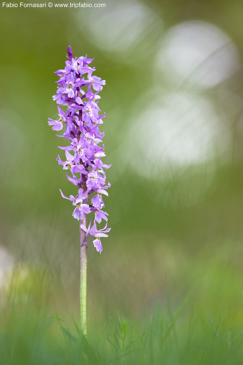 Photograph Orchis mascula by Fabio Fornasari on 500px