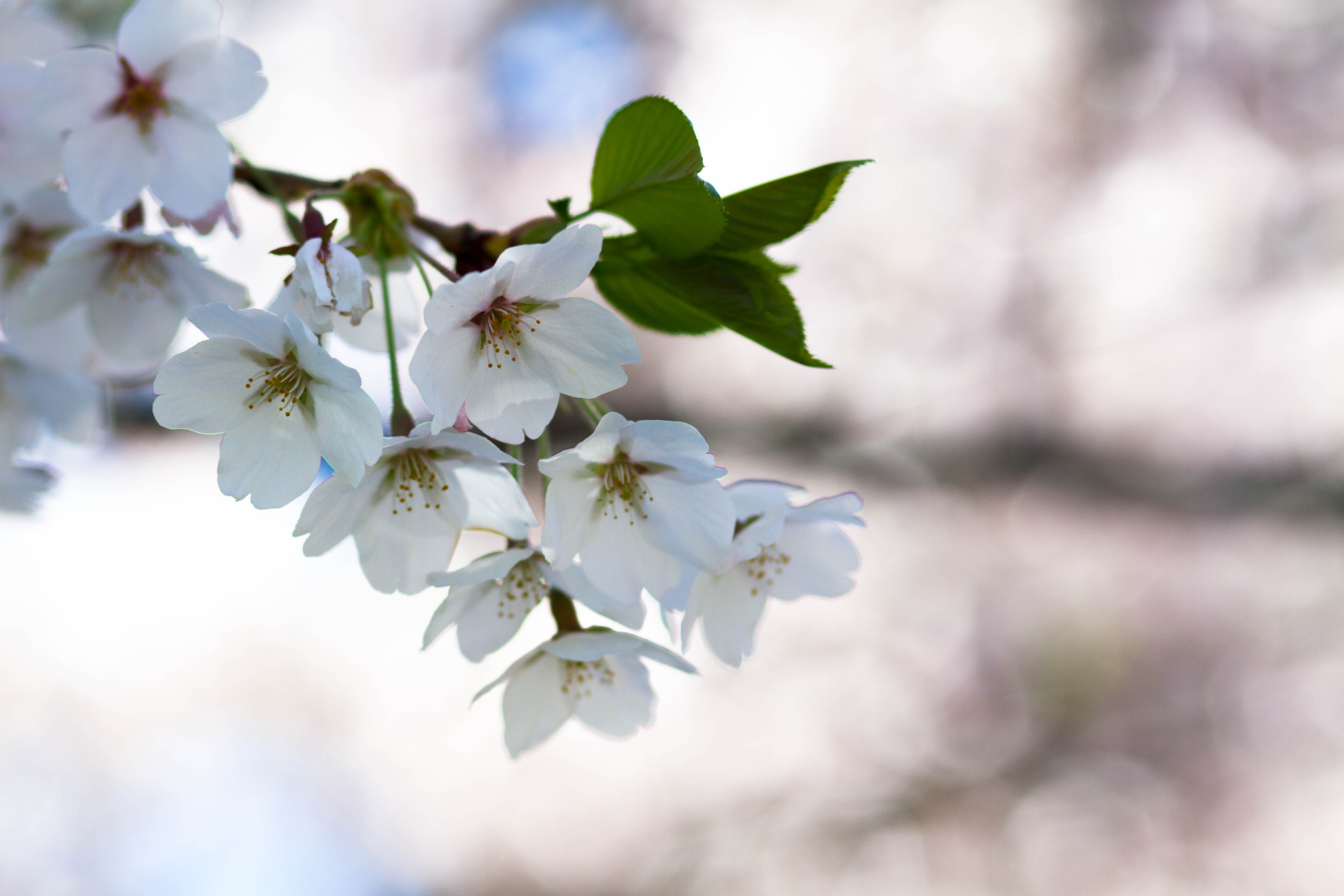 Photograph High Park Blossoms by Ash Furrow on 500px