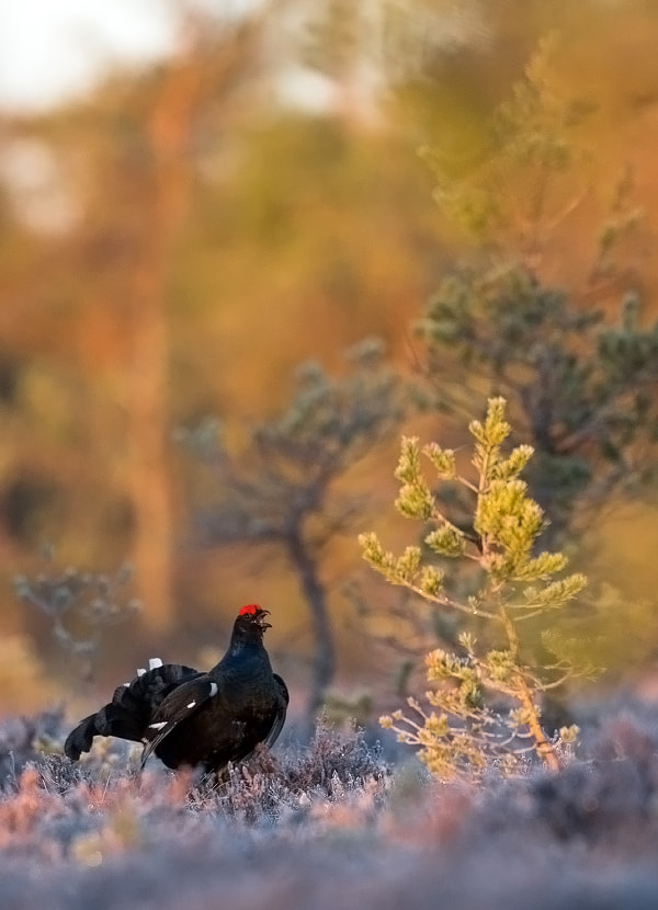 Photograph Black grouse by Lauri Tammik on 500px