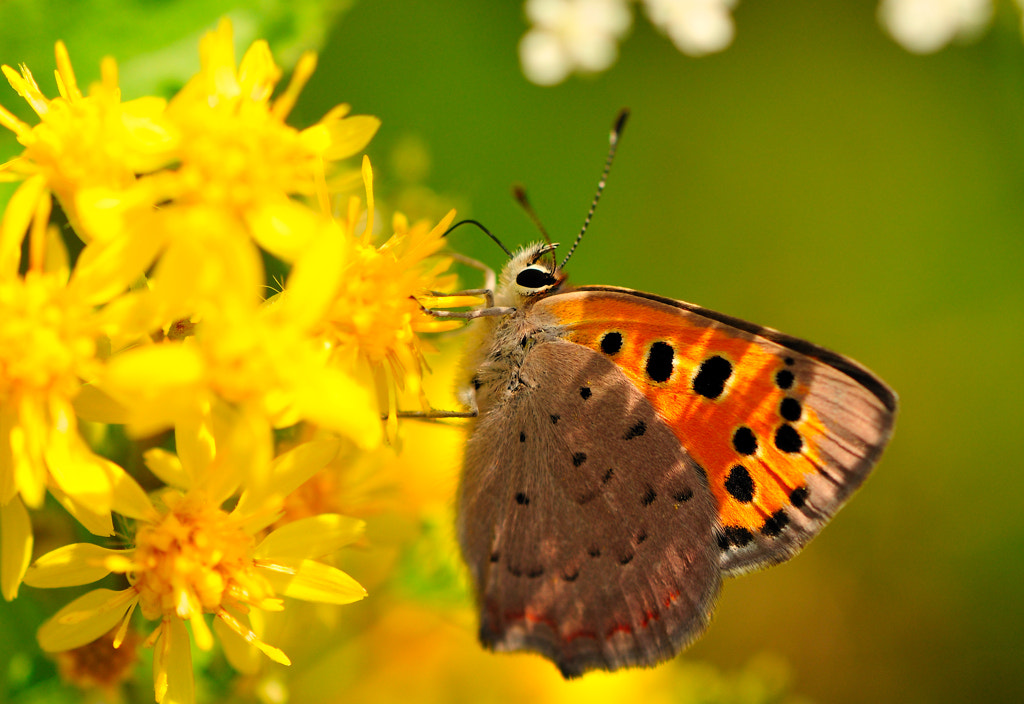 Photograph Lycaena phlaeas 2 by Almqvist Photo on 500px