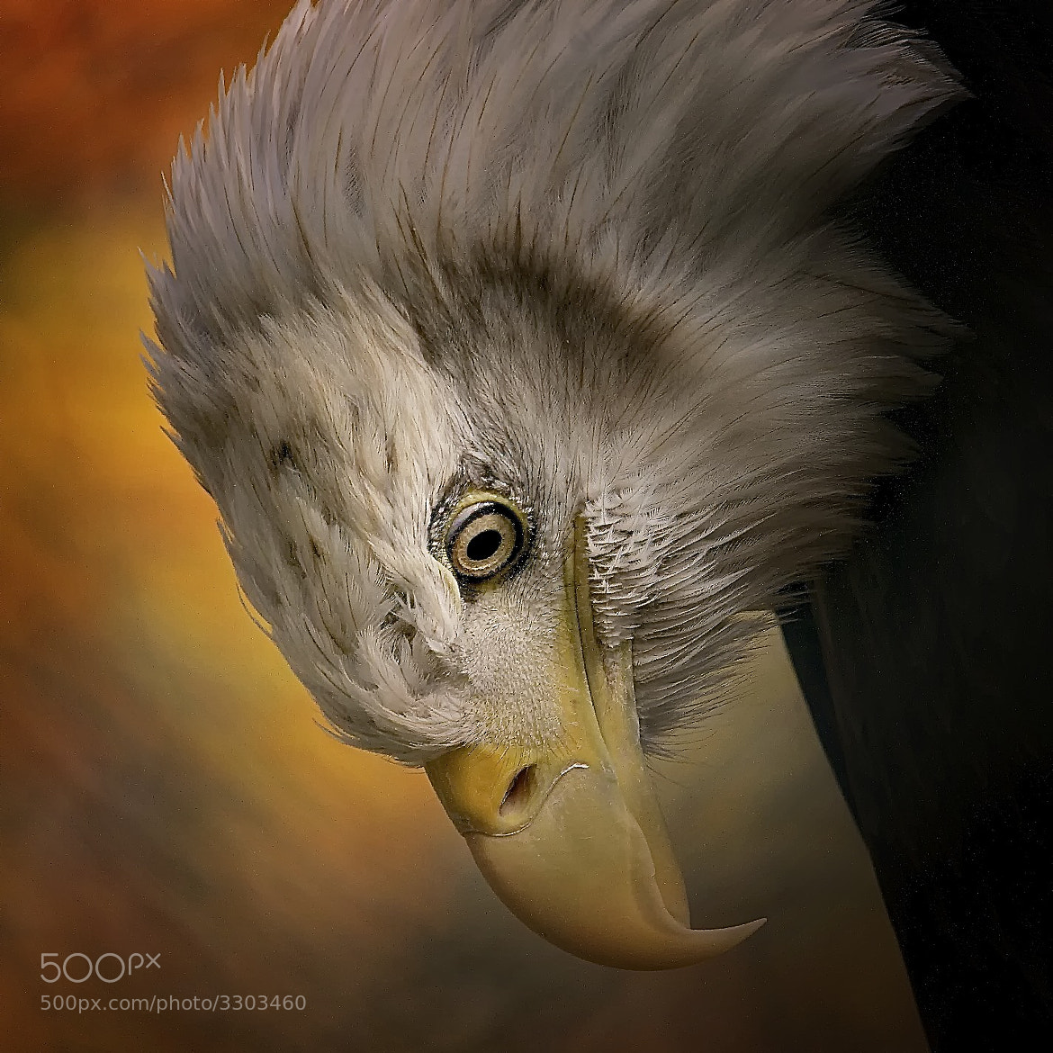 Photograph Bald Eagle by Sonja Probst on 500px