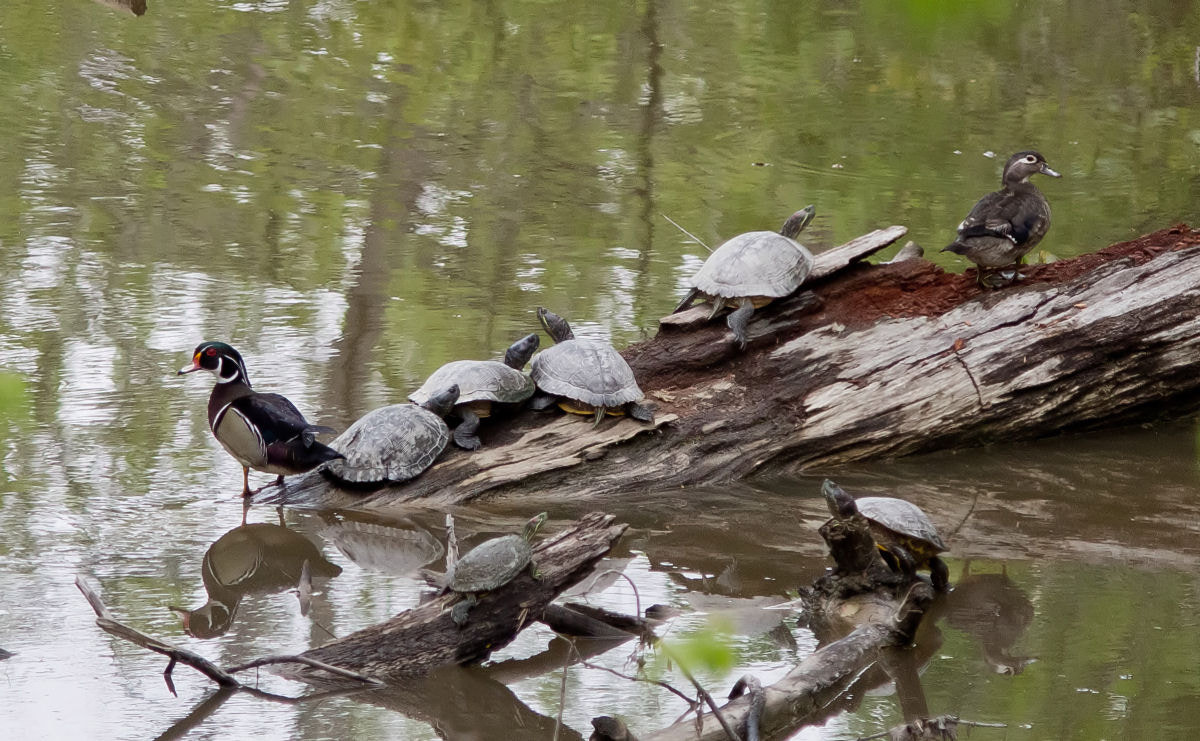 Photograph Wood Ducks and Turtles by Kelly Phillips on 500px