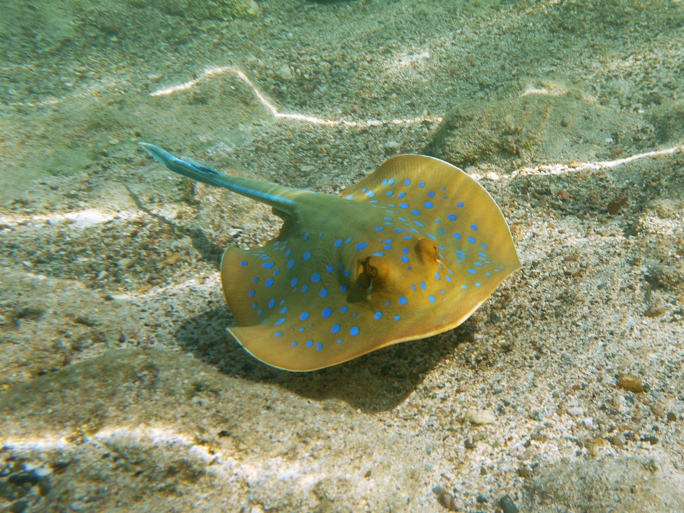 Photograph Bluespotted ribbontail ray by Petr Podroužek on 500px