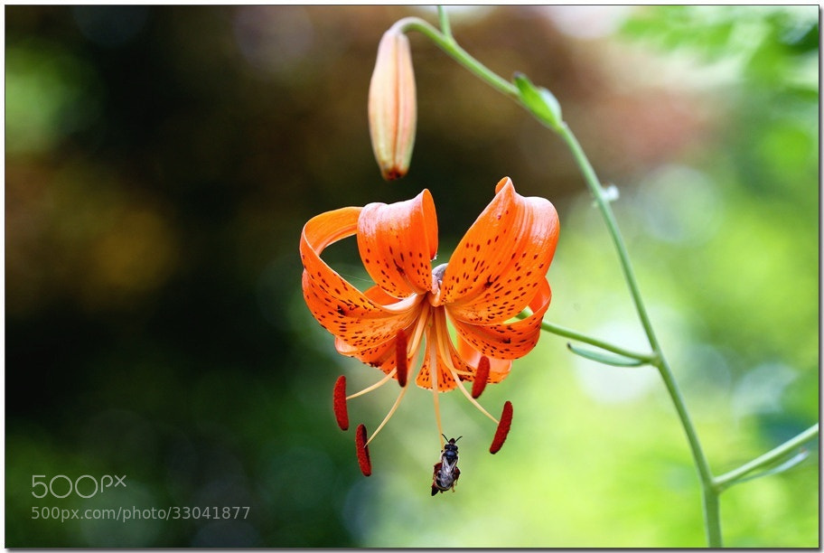 Photograph Amabile lily by LEE INHWAN on 500px