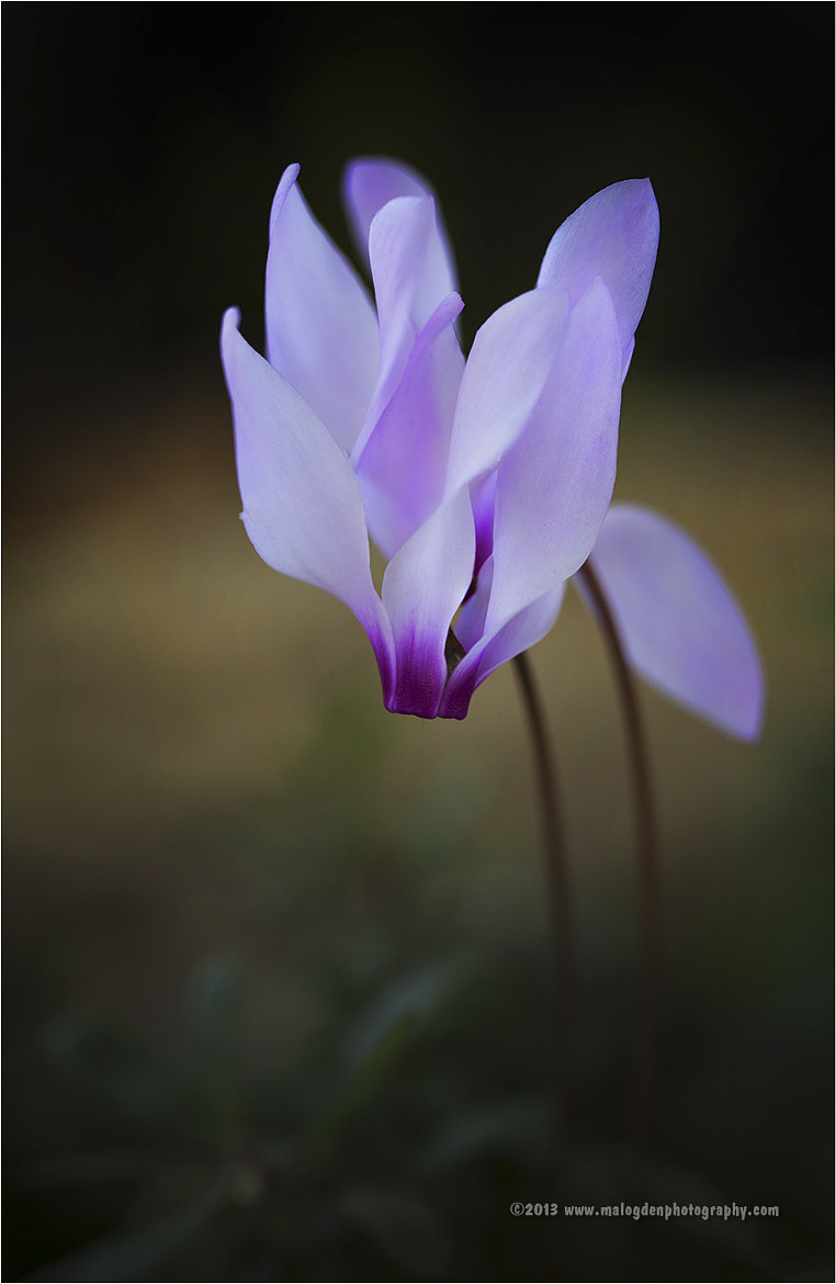 Photograph Cyclamen Hederifo by Mal Ogden on 500px