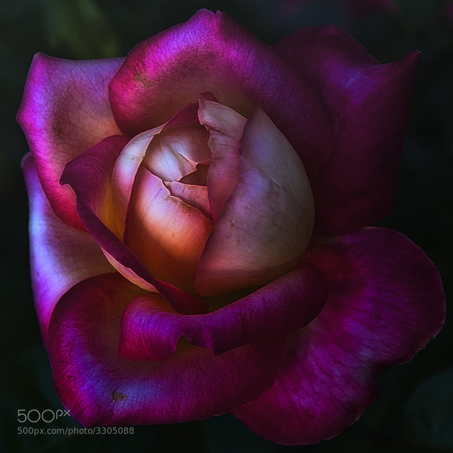 Whetstone Park of Roses,Columbus,Ohio