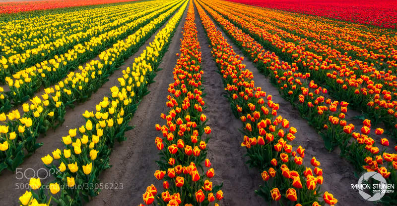 Photograph Dutch Tulips by Ramon Stijnen on 500px