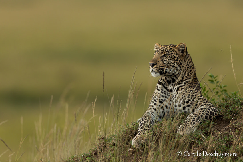 Photograph leopard on the lookout by Deschuymere Carole on 500px
