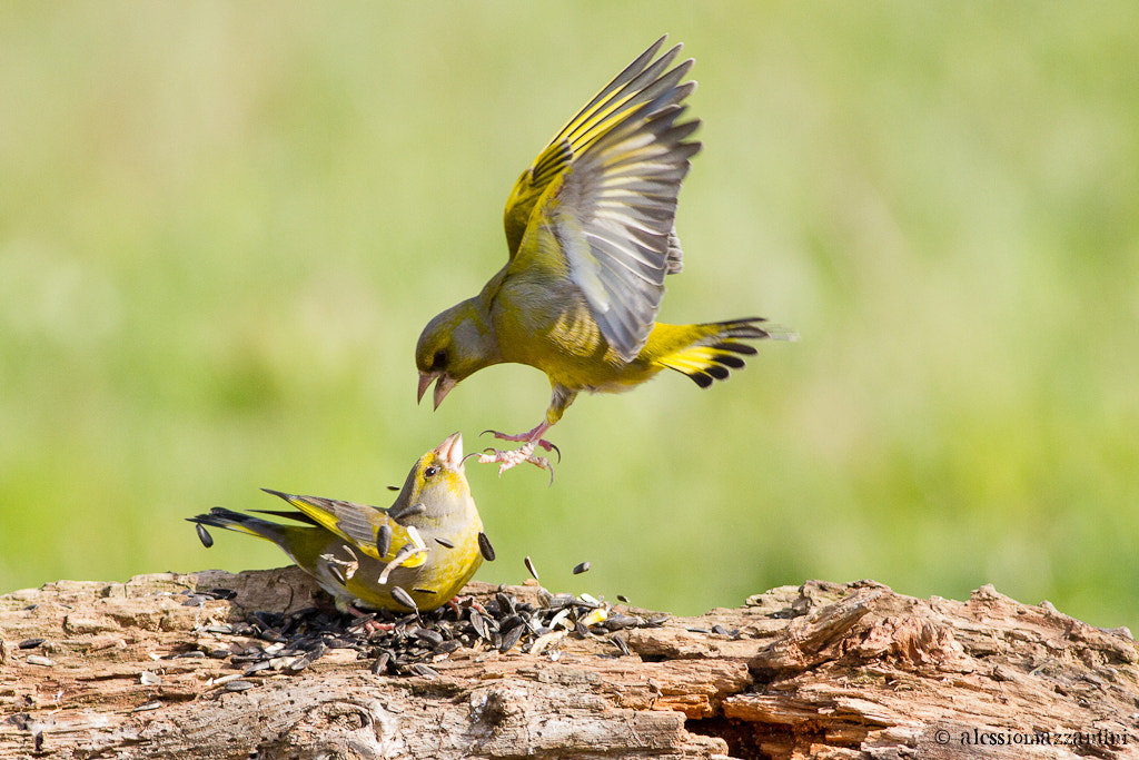 Photograph greenfinch (Carduelis chloris) by Alessio Mazzantini on 500px
