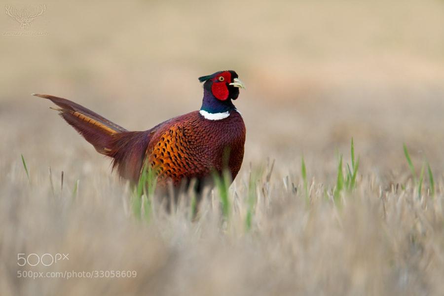 Photograph pheasant by Peter Kralik on 500px