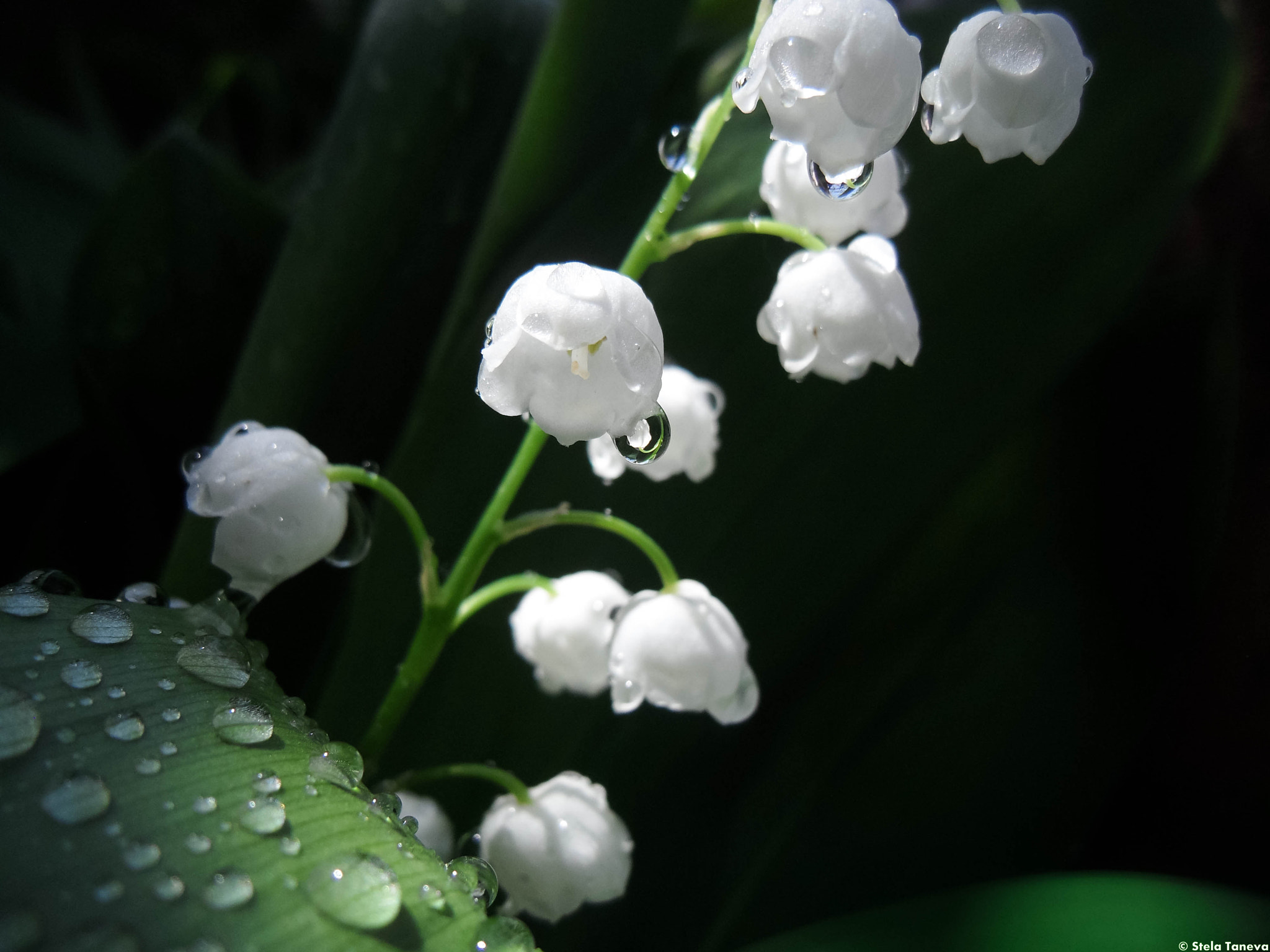 Photograph Convallaria majalis by Stela Taneva on 500px
