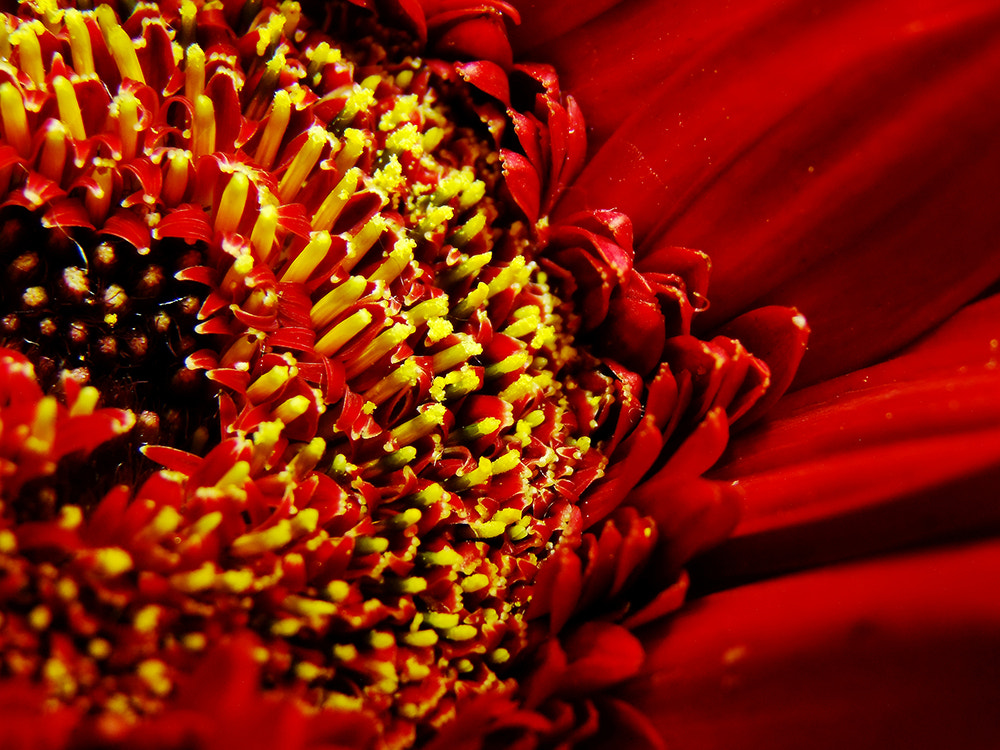 Photograph Macro Red Flower by Grace Thang on 500px