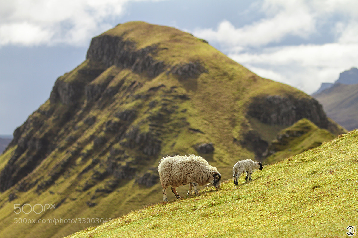 Photograph sheep by Daniel Lang on 500px