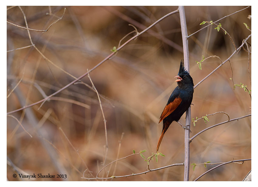 Photograph Crested Bunting by Vinayak Shankar on 500px