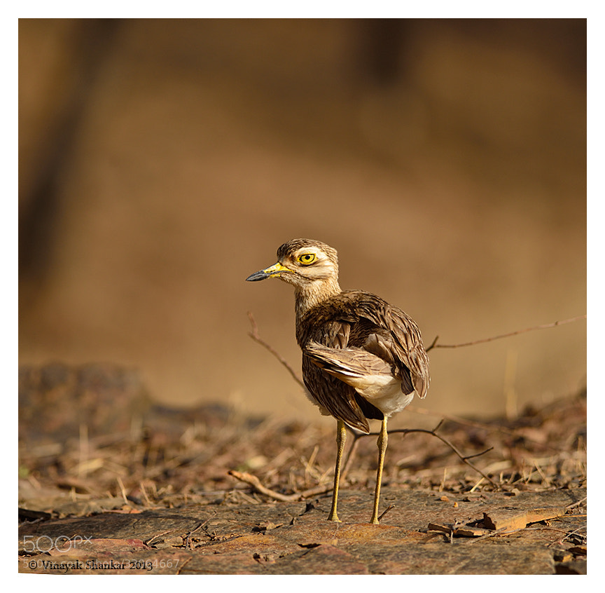 Photograph Eurasian Thick Knee by Vinayak Shankar on 500px