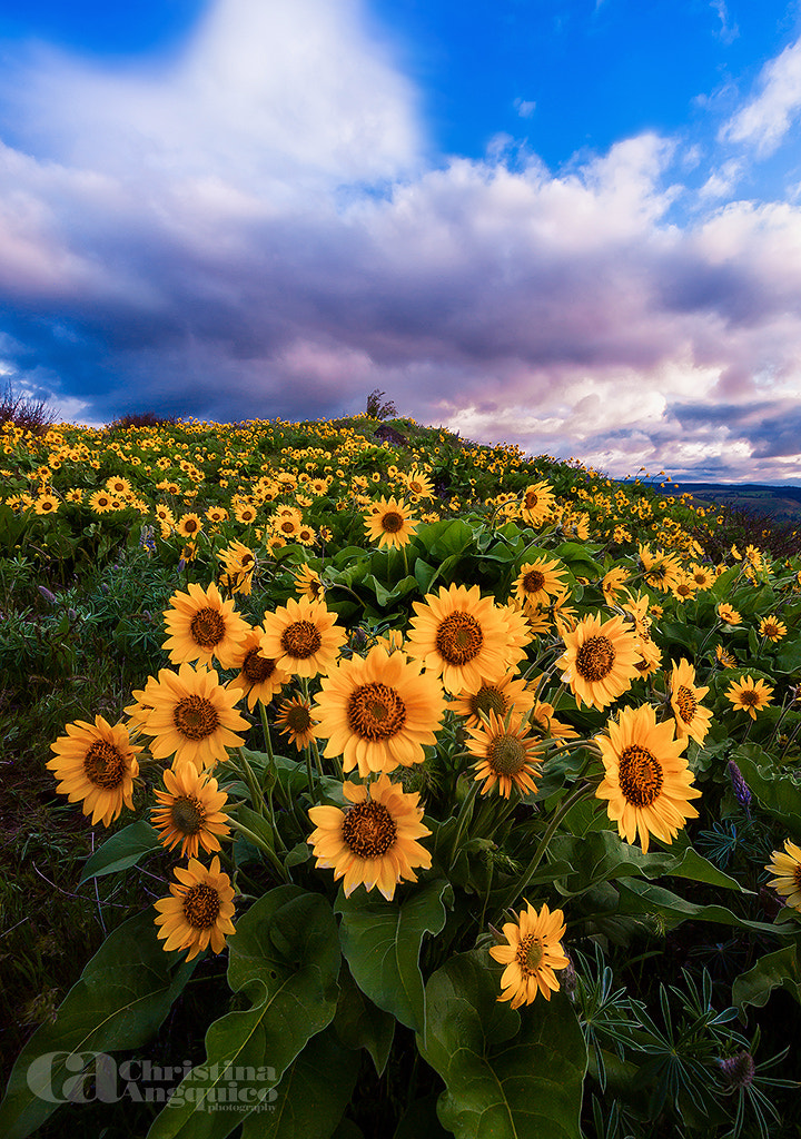 Photograph Sunshine Daisy's by Christina Angquico on 500px