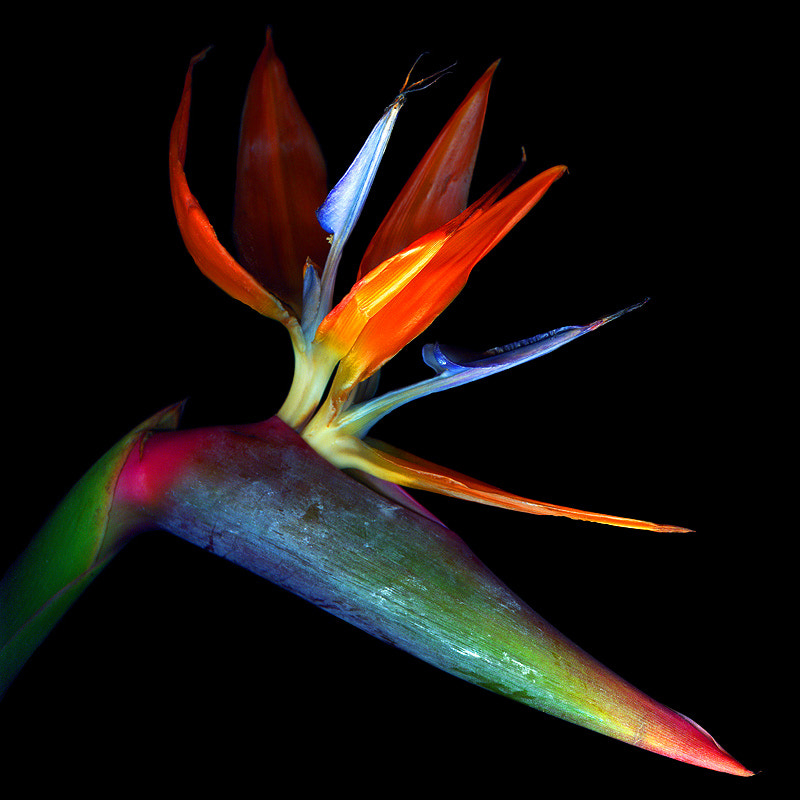 Photograph BIRD OF PARADISE... by Magda Indigo on 500px