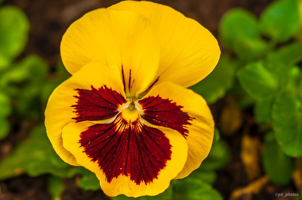 Photograph Pansy by Paulo Luft on 500px
