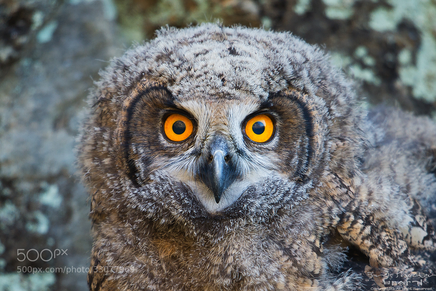 Photograph eagle owl by basaki 바사기 on 500px