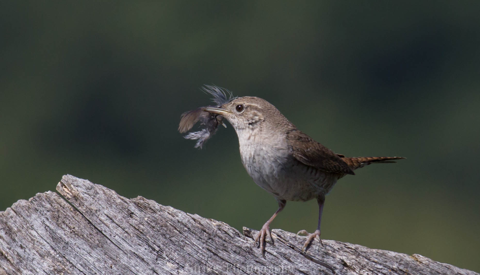 Photograph little wren by Strike Taing on 500px