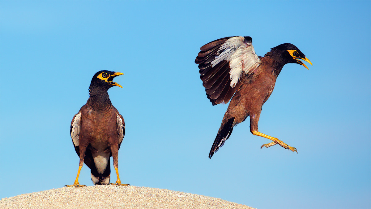 Photograph Acridotheres tristis by Artem Andronov on 500px