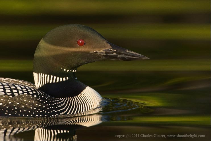 Photograph Common loon portrait by Charles Glatzer on 500px