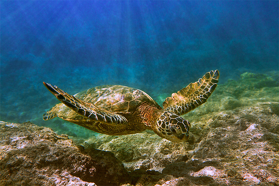 """The green sea turtle, called """"Honu"""" by the Hawaiian people, plays an important roll in the environment and culture.  These turtles, which can weigh up to 400 pounds, are primarily vegetarians. They eat algae or limu (Hawaiian seaweed) that grows underwater on coral reefs and on rocks close to shore. Although sea turtles live most of their lives in the ocean, adult females must return to land in order to lay their eggs. They will migrate up to 800 miles, traveling from their feeding areas near the coast of the main islands to nesting beaches in the northwestern islands.  Hundreds of years ago, millions of sea turtles swam the earth's oceans. Today, all known species of sea turtles are considered either endangered or threatened."""