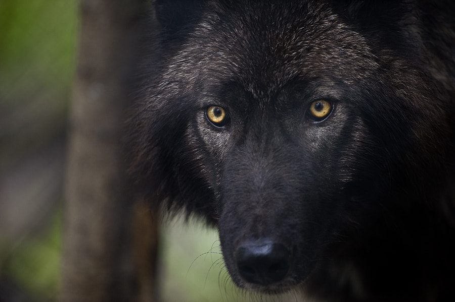 Photograph Black Wolf by Dan Newcomb on 500px