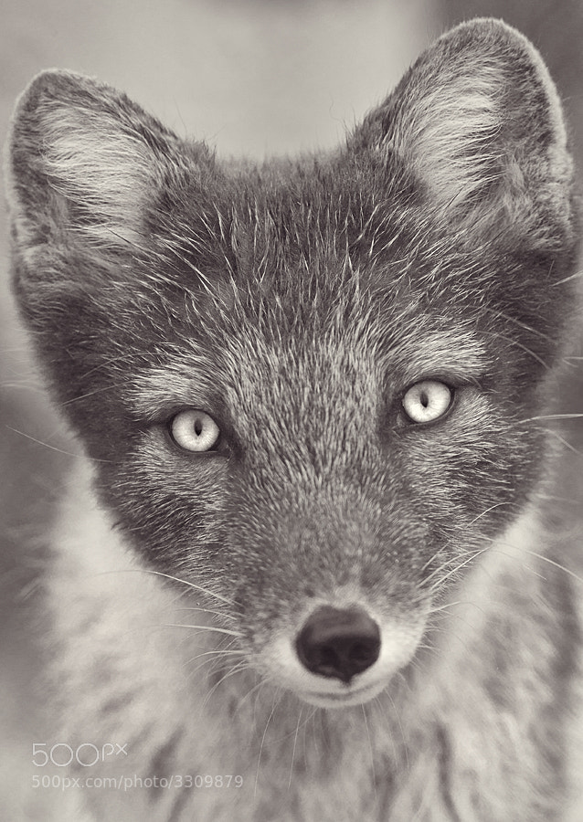 Photograph Arctic Fox by Dan Newcomb on 500px