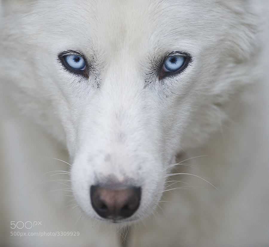 Photograph Siberian Husky by Dan Newcomb on 500px