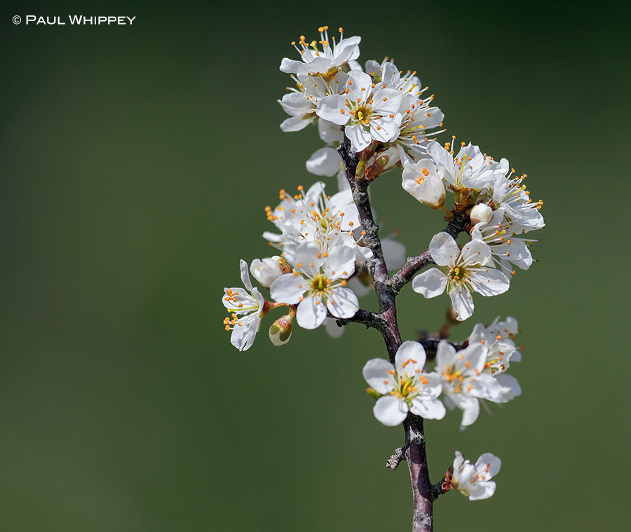 Photograph Blackthorn blossom by Paul Whippey on 500px