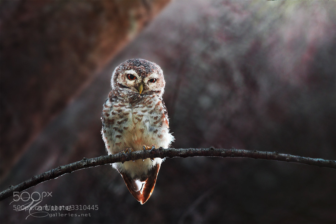Photograph Spotted Owlet  3 by Sasi - smit on 500px