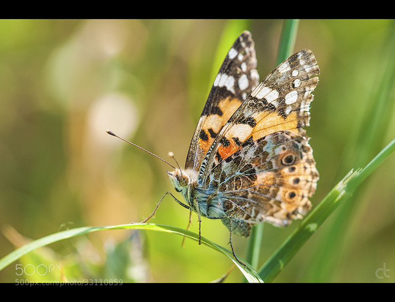 Photograph Butterfly 3 by Can Tunçer on 500px