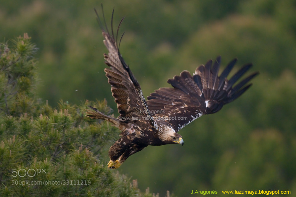 Photograph Aquila adalberti by Juan  Aragonés on 500px
