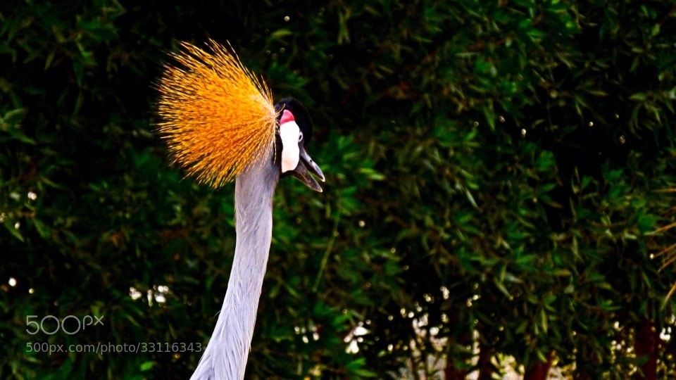 Photograph Crown Crane by Arman Mohammed on 500px