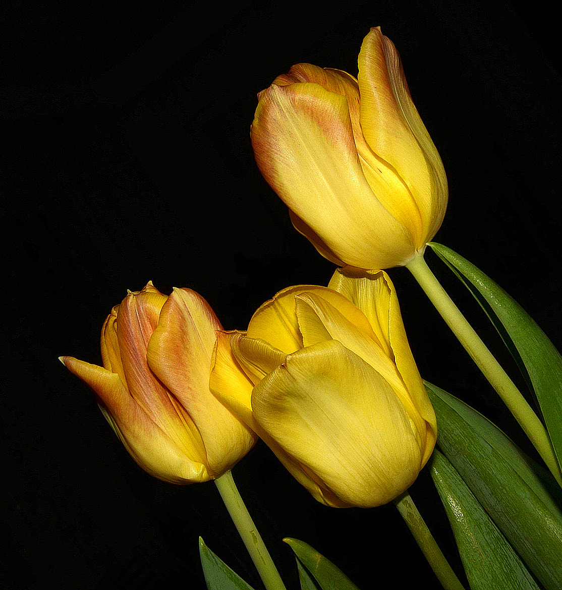 Photograph Tulip for friendship by Nazia di on 500px