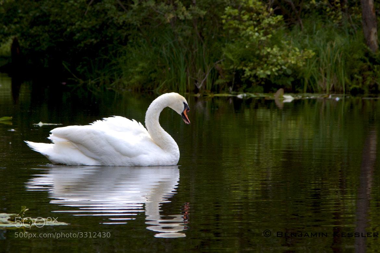 Photograph Swan by Benjamin Kessler on 500px
