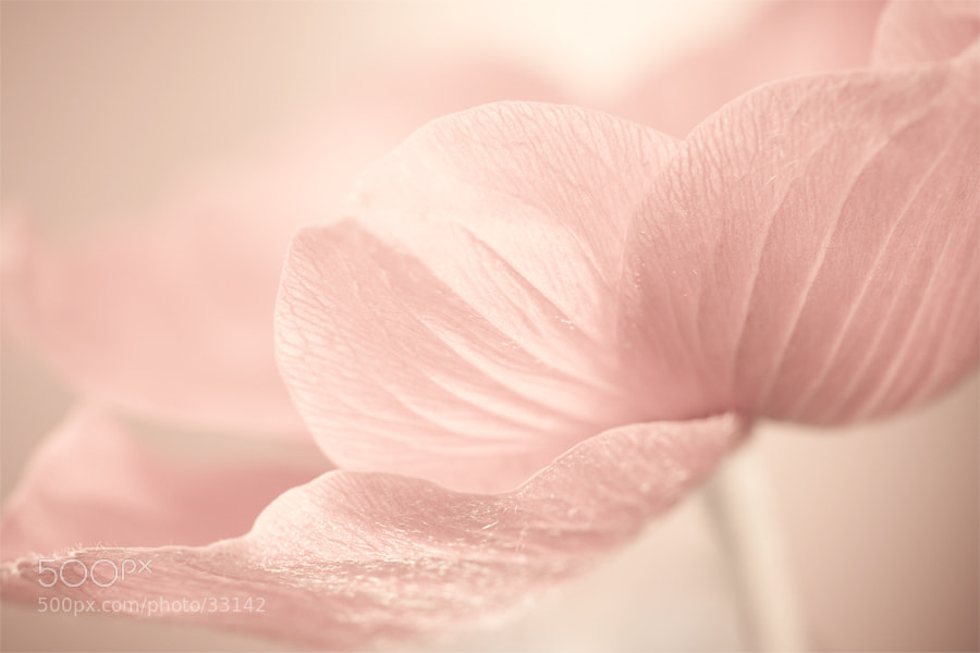 Photograph Chinese Anemone by Stas Medvedev on 500px