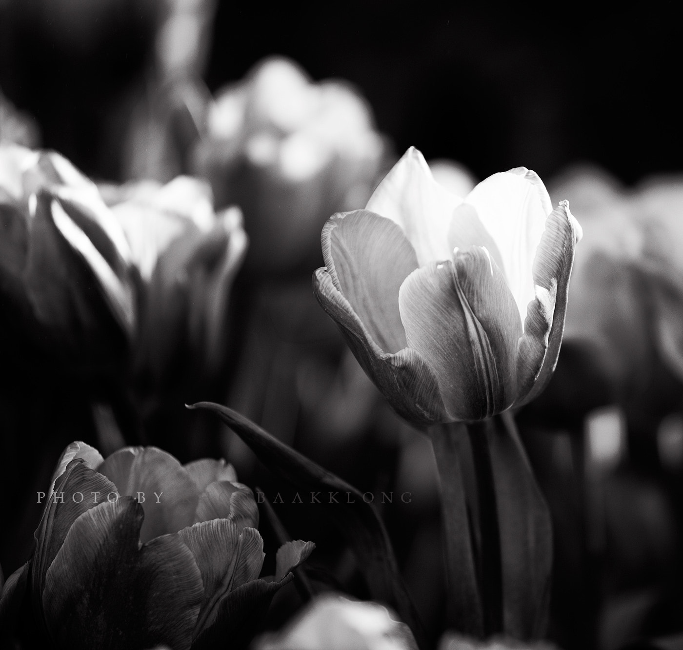 Photograph Tulip B&W by Nara Postcardonline on 500px