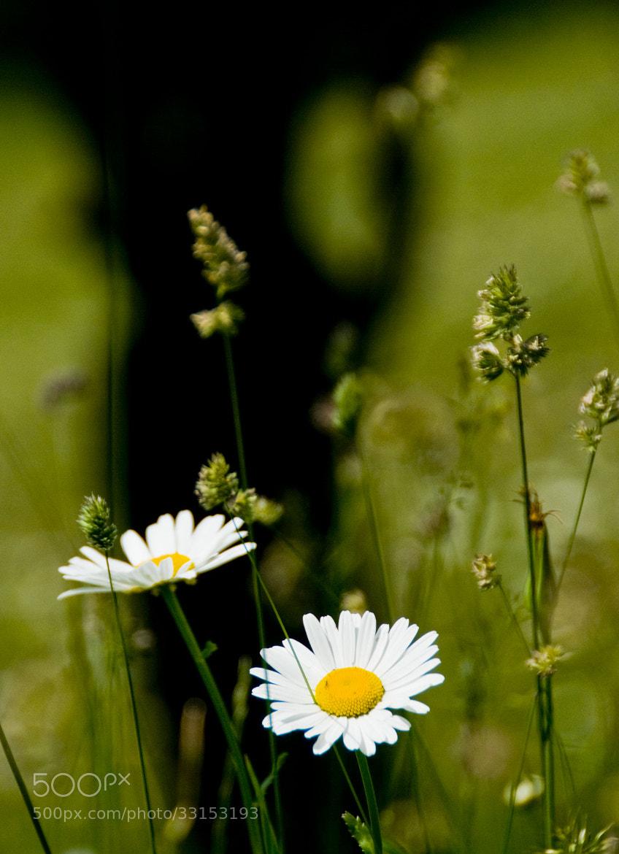 Photograph Daisy by Daniel Calin on 500px
