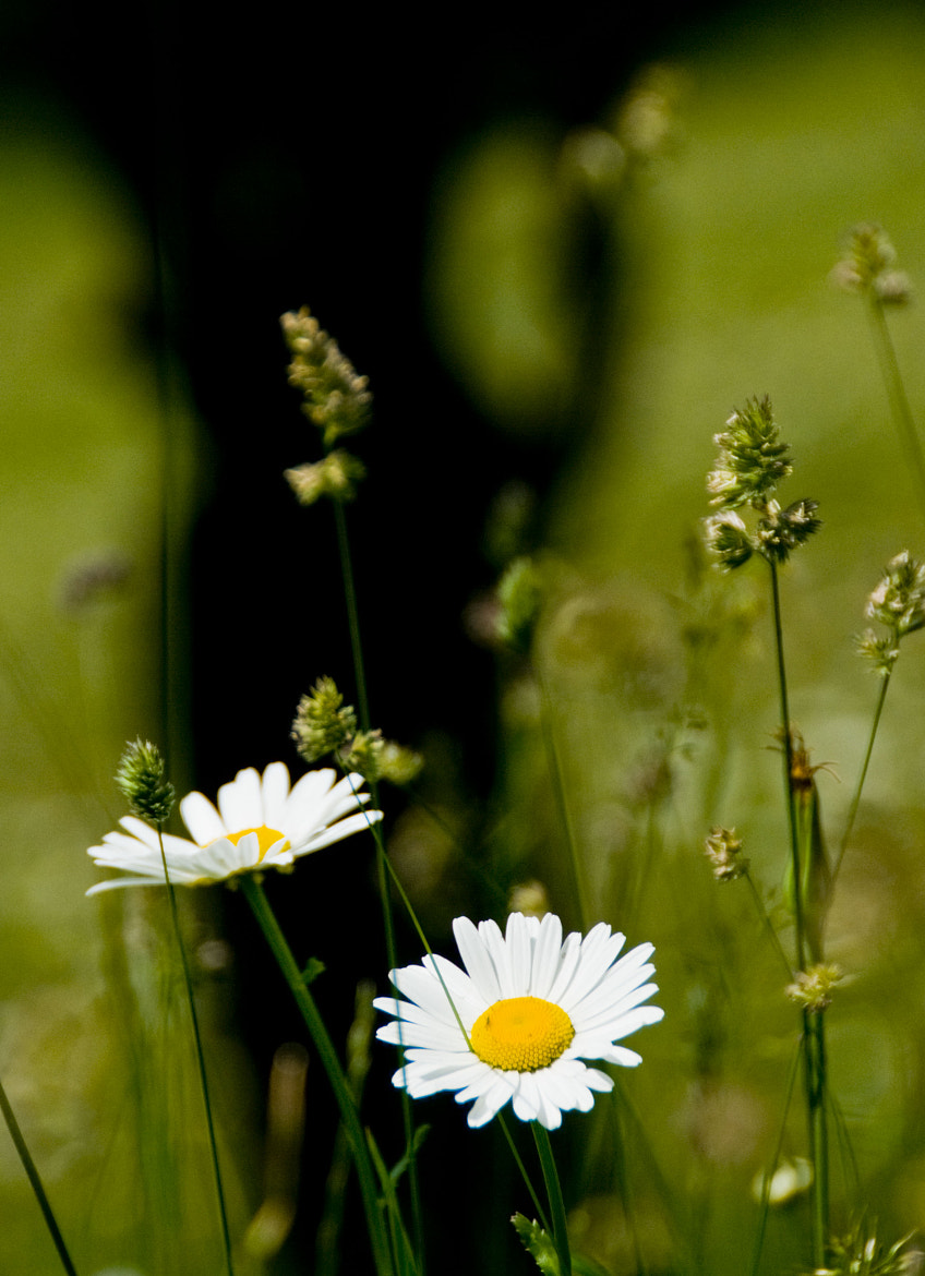 Photograph Daisy by Daniel Calin on 500px