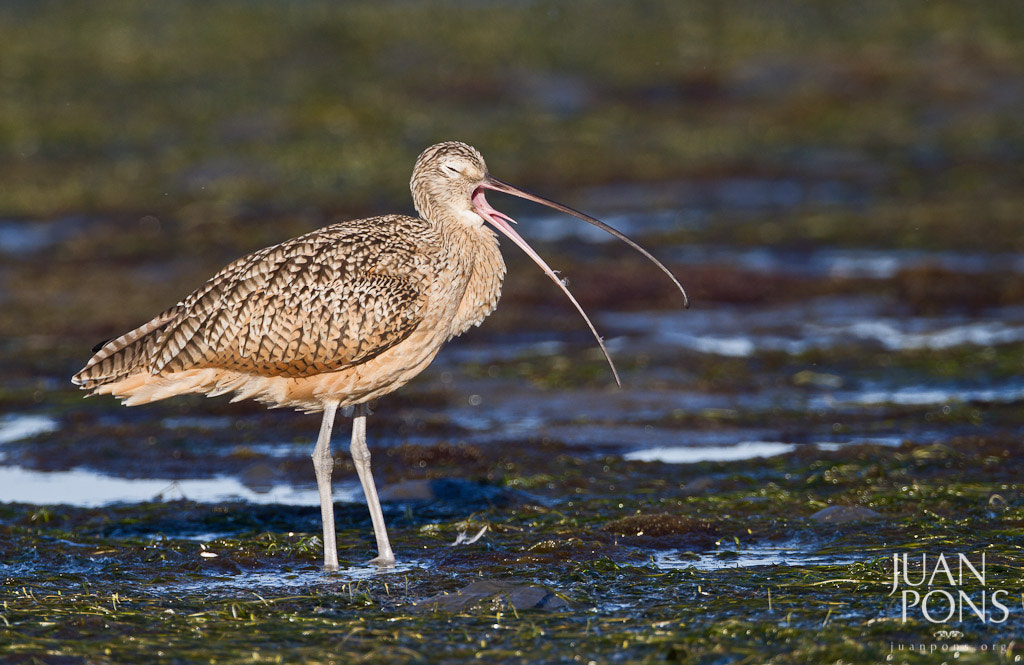 Photograph Long-billed Curlew, Morro Bay, CA by Juan Pons on 500px